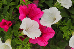 Surfinia flower in the garden. A surfinia flower in the garden Stock Photography