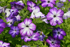 Surfinia  full bloom in spring Stock Images