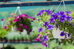 Surfinia. Some surfinias in hanging baskets Royalty Free Stock Photos