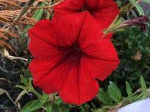 Surfinia vermelho Imagem de Stock Royalty Free