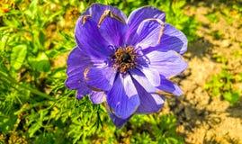 Surfiniya púrpura Fotografía de archivo