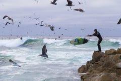 Surfista em rochas entre pássaros de água numerosos gaivotas e pássaros que sentam-se nas rochas, Monterey dos cormorões, Califór imagem de stock