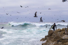 Surfista em rochas entre pássaros de água numerosos gaivotas e pássaros que sentam-se nas rochas, Monterey dos cormorões, Califór foto de stock royalty free