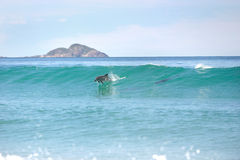 surfować delfinów Zdjęcia Stock