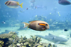 Surgeon. Orange-spot Surgeonfish (Acanthurus olivaceus) swimming over coral reef Stock Images