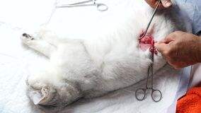 The surgeon doing the operation on the cat. Vet closes a cat's wound after surgery.