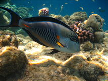 Surgeon fish. Tropical blue surgeon fish swim in the coral reef Stock Photo