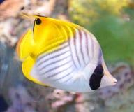 Surgeon fish. Tropical sea surgeon fish in aquarium Royalty Free Stock Photos