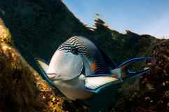 Surgeon fish (Acanthurus sohal) Stock Photo