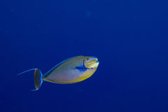 Surgeon fish in the blue Royalty Free Stock Photography