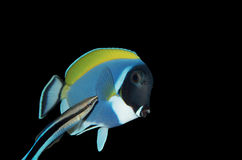 Surgeon fish and bluestreak cleaner wrasse Stock Image