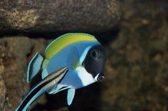 Surgeon fish and bluestreak cleaner wrasse. In fishtank royalty free stock photo
