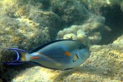 Surgeon-fish close-up Royalty Free Stock Photography