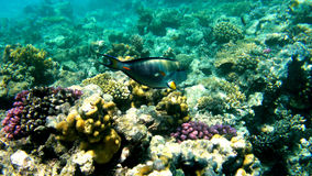Surgeon fish on a coral reef Stock Photo