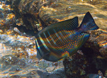 Surgeon-fish in the coral reef, Eilat Royalty Free Stock Photography