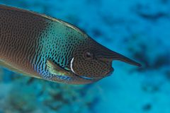Surgeon fish (Naso brevirostris) - Red Sea Royalty Free Stock Images
