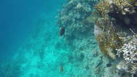 Surgeon fish red sea stock footage