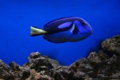 Surgeon fish Royalty Free Stock Photo