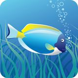 Surgeon fish under water. Tropical surgeon fish on the blue underwater background with seaweed Stock Photos