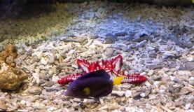 The surgeon yellow fin fish (Zebrasoma xanthurum) and starfish.  Royalty Free Stock Photos