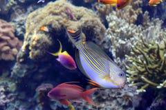 Surgeon zebrafish doing cartwheels. Aquarium tropical surgeon zebrafish pirouetting Royalty Free Stock Image