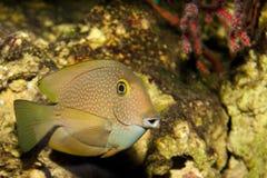 Surgeonfish ή Tang στο ενυδρείο Στοκ φωτογραφία με δικαίωμα ελεύθερης χρήσης