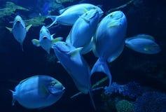 Surgeonfish желтопёр Стоковое Изображение RF