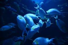 Surgeonfish желтопёр Стоковые Фотографии RF