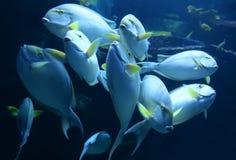 Surgeonfish желтопёр Стоковая Фотография RF