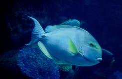 Surgeonfish желтопёр Стоковое фото RF