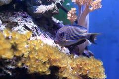 Surgeonfish клоуна Стоковые Фотографии RF