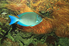 Surgeonfish океана Стоковая Фотография RF
