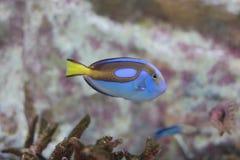 surgeonfish палитры, голубая тянь Стоковые Изображения