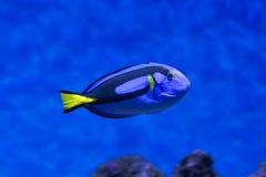 Surgeonfish палитры крупного плана рыб Dory внутри коралловых рифов в голубом аквариуме Стоковые Изображения