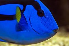 Surgeonfish палитры - Тихая океан голубая тянь Стоковые Изображения RF