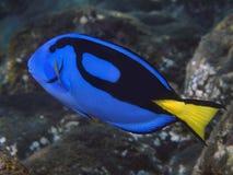 Surgeonfish палитры Стоковое Фото