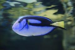 Surgeonfish палитры Стоковая Фотография