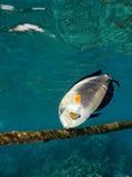 surgeonfish Στοκ εικόνες με δικαίωμα ελεύθερης χρήσης