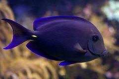Surgeonfish. Tropical coral fish with coral in background Royalty Free Stock Photo