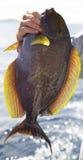 Surgeonfish Stock Images