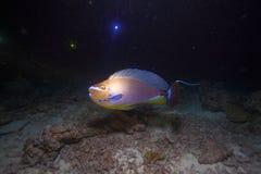 surgeonfish Стоковое Изображение RF