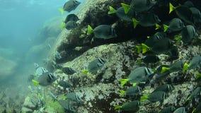 Surgeonfish. stock footage