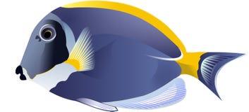 surgeonfish Стоковые Фото