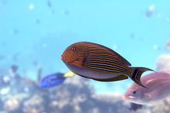 Surgeonfish. Orange striped surgeonfish Royalty Free Stock Photography