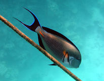 Surgeonfish Stock Photo