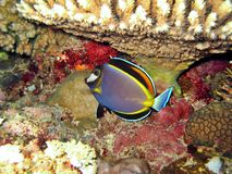 Surgeonfish fotografia stock libera da diritti