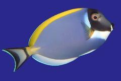 Surgeonfish Stockbilder