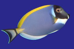 Surgeonfish Stock Afbeeldingen