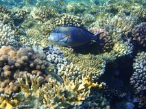 Surgeonfish & x28;Acanthurus sohal& x29; on the coral reef of the Red sea. stock photo