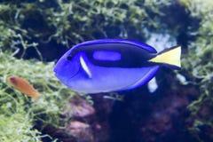 Surgeonfish bleu image libre de droits